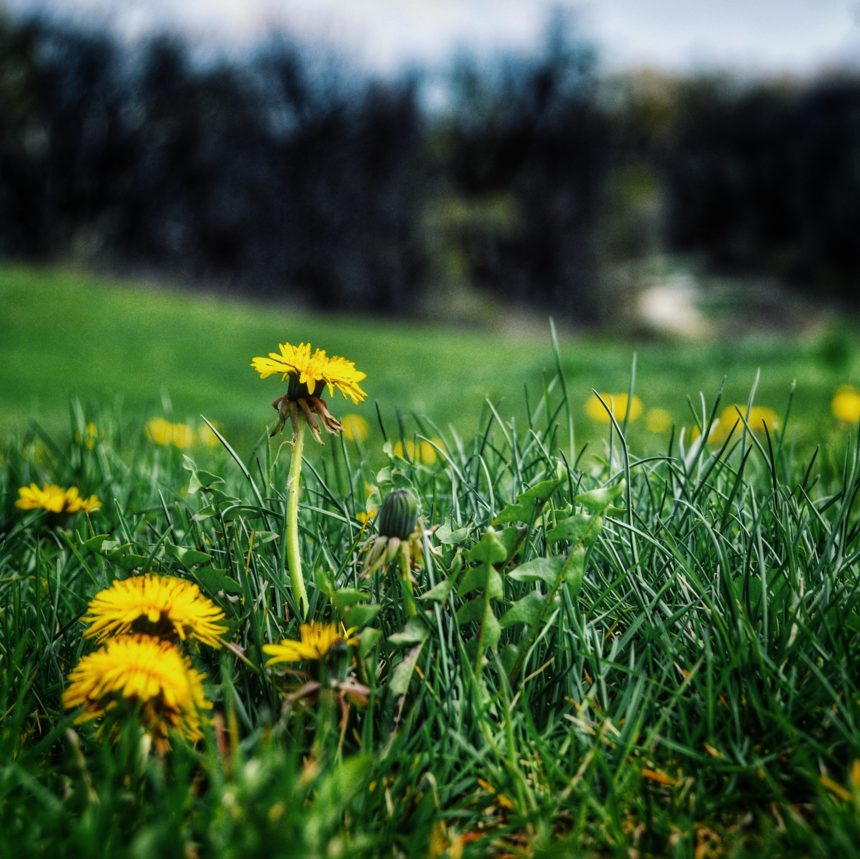 Common Lawn Weeds in the Midwest